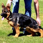 GERMAN SHEPHERD PUPPIES IN GERMANY ZAC DEI PRECISION PUPPIES