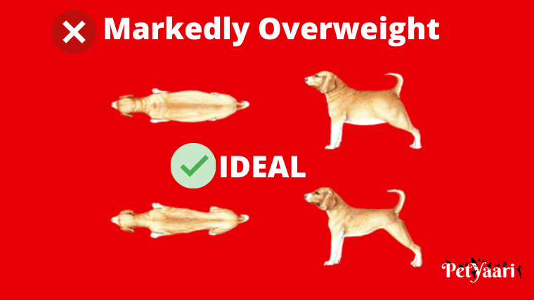 Markedly Overweight
