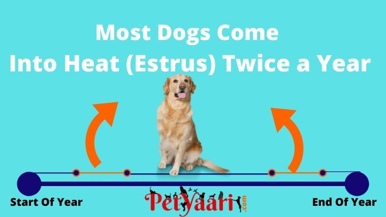 Dogs Come into heat twice a year