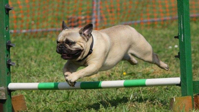 jumping-pug