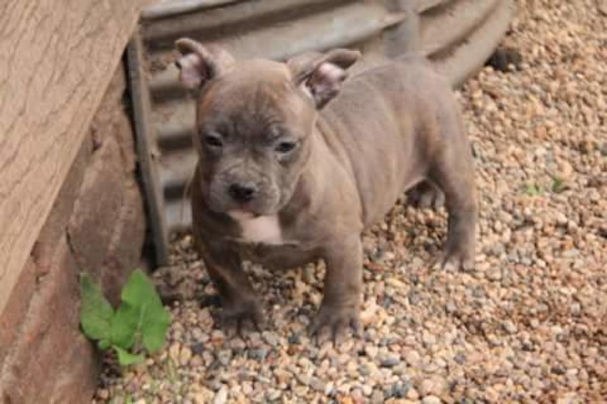 American Bully Puppies & Dogs for Sale in Minnesota United States