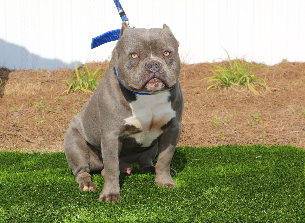 American Bully Puppies & Dogs for Sale in South Carolina