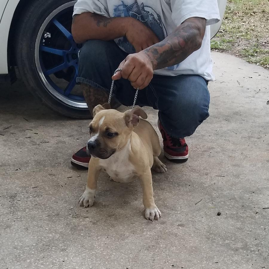 American Bully Puppies & Dogs for Sale in Florida United