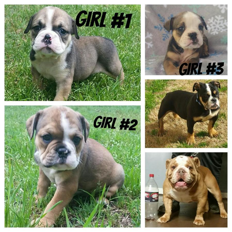 Olde English Bulldogge Puppies for Sale in South Carolina United