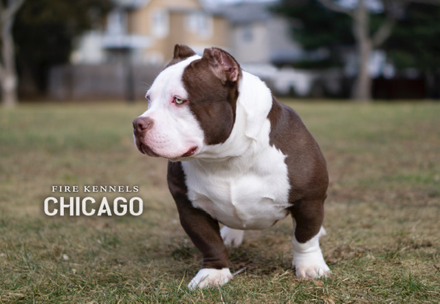 American Bully Puppies for Sale in United States - PetZDaddy