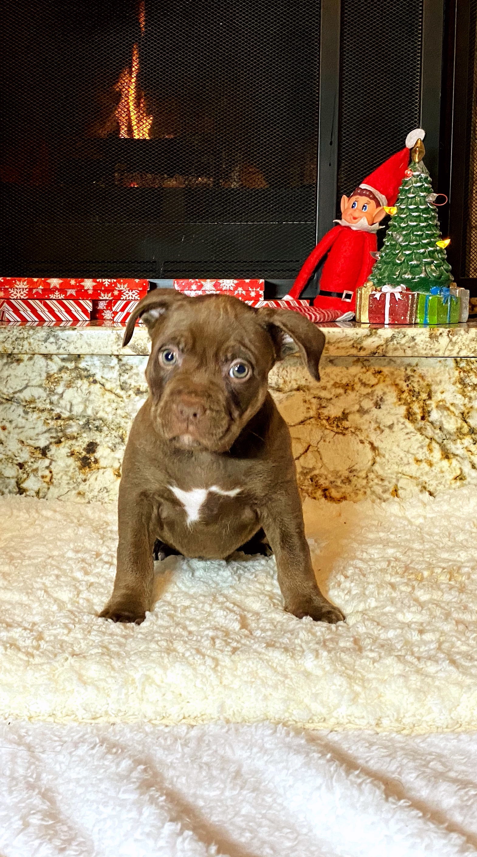 American Bully Puppies Dogs For Sale In Florida United States