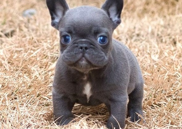 French Bulldog Puppies For Sale In Michigan United States Petzdaddy