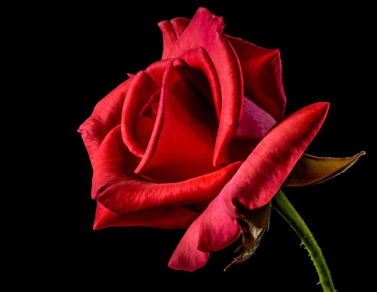 Kostenlose Bilder zum Thema rote rosen  Pexels