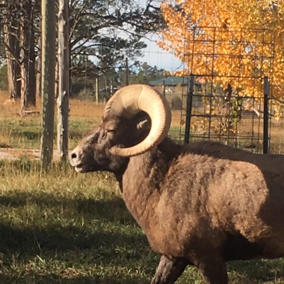 Big Horn Sheep at Bear Country USA South Dakota