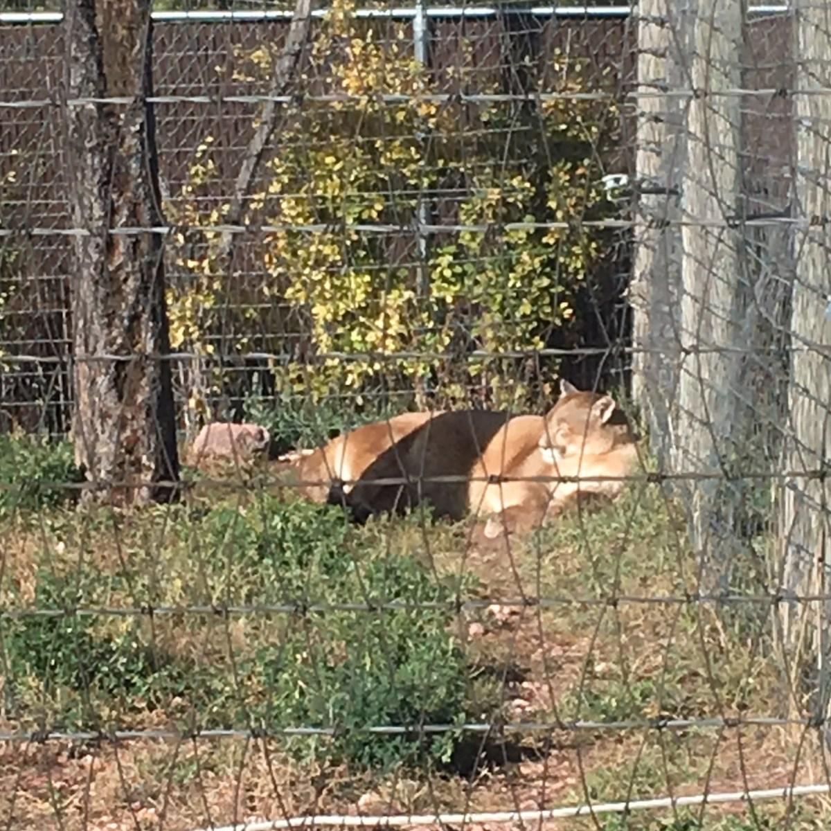 Mountain Lion at Bear Country USA South Dakota