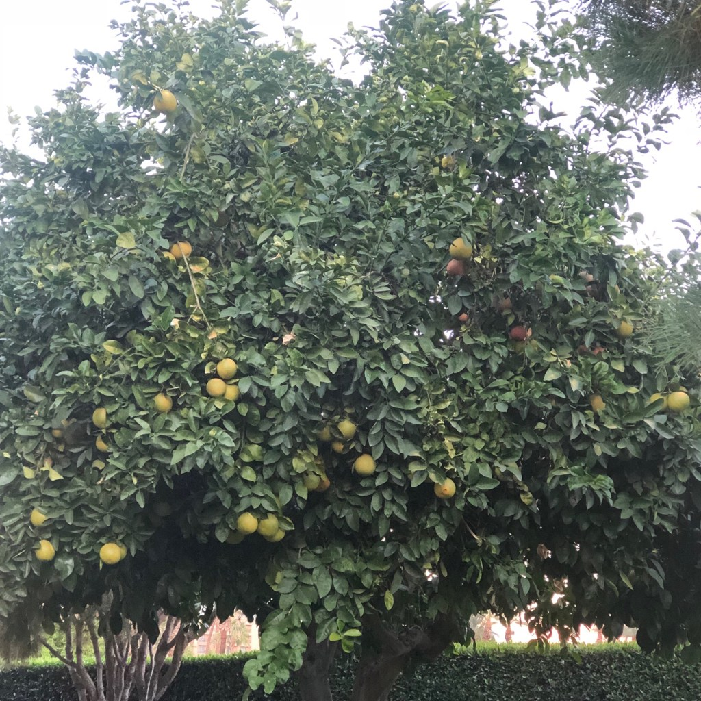 Citrus Grove at Miramonte