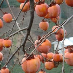 Trabzon Hurması – Cennet Meyvesi (Çikolatalı)