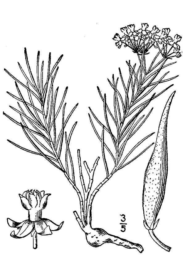 Asclepias pumila Low Milkweed, Plains milkweed PFAF Plant