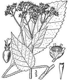 Parthenium integrifolium Wild Quinine PFAF Plant Database