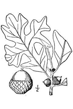 Quercus stellata Post Oak PFAF Plant Database