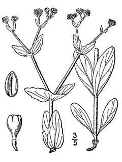 Valerianella radiata Beaked Cornsalad PFAF Plant Database