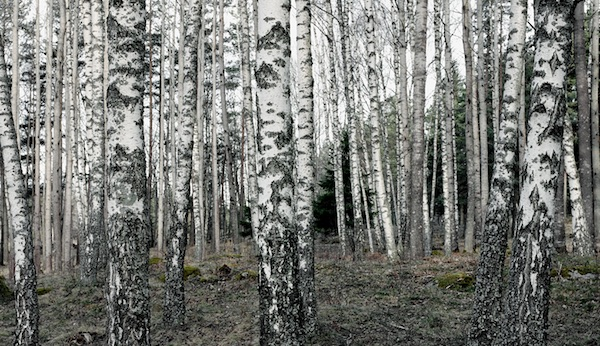 Birkenwald © SAV.se