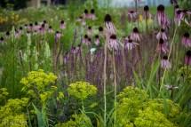 echinacea pallida_euphorbia