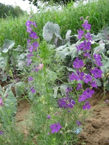 Gartenrittersporn Consolida ajacis  Pflanzen Enzyklopdie
