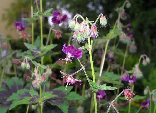 Brauner Storchschnabel Geranium phaeum Samobor