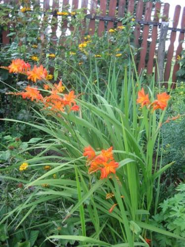 Gartenmontbretie (crocosmia X Crocosmiiflora)  Pflanzen