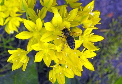 Goldlauch Allium moly  Pflanzen Enzyklopdie