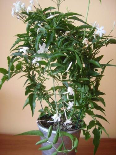 DuftJasmin Jasminum polyanthum  Pflanzen Enzyklopdie