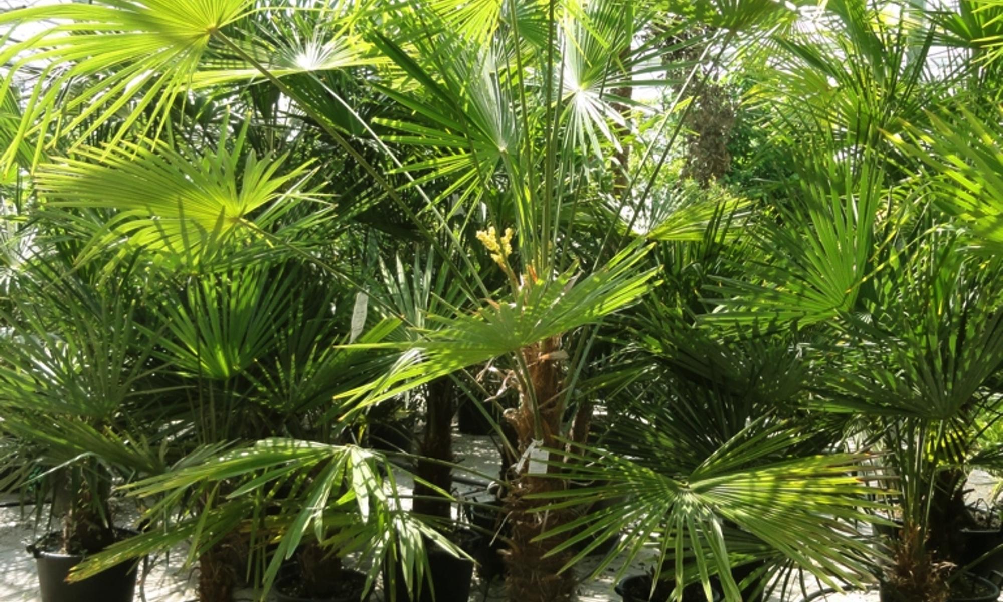 Palmen Pflanzen kaufen
