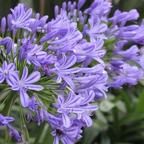 Lila Blumen Bestimmen