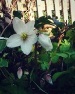 Helleborus niger returns