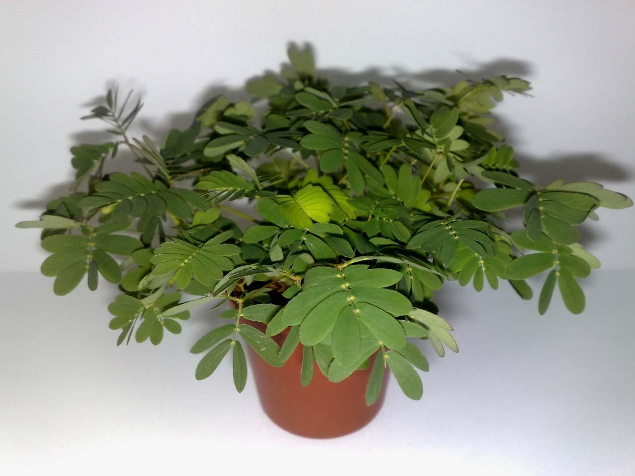 Mimose Pflege Amazing Paeonia Hybride Pfingstrose Etched