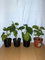 Jungpflanzen, ein halbes Jahr nach der Keimung..