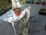 passiflora_caerulea_010414_2
