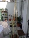 passiflora_caerulea_010414_4