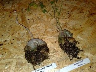 caudexpflanzen_1