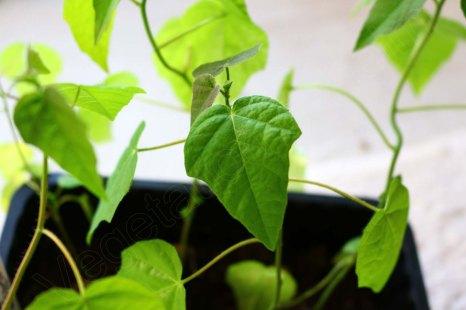 Passiflora foetida keimte bis dato als einzige Art zuverlässig