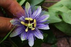 passiflora_150715_3