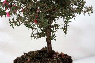 Leptospermum_scoparium_Red_Damask_4