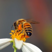Bee collecting pollen (canstockphoto 5415299)