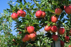 apples_canstockphoto3524431
