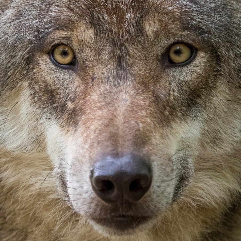 Europäjsvher Grauwolf