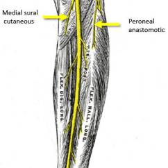 Leg Muscles And Ligaments Diagram 1997 Bmw Z3 Radio Wiring Common Peroneal Nerve Injury - Anatomy Mcq « Pg Blazer