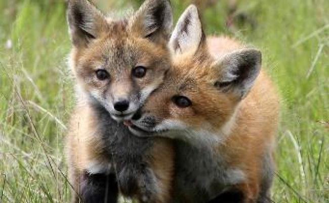 The Red Fox Vulpes Vulpes Parents Alliance Of Prince