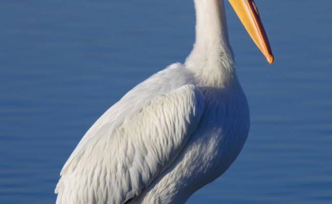 White Pelicans Pelecanus Erythrorhynchos Pgcps Mess