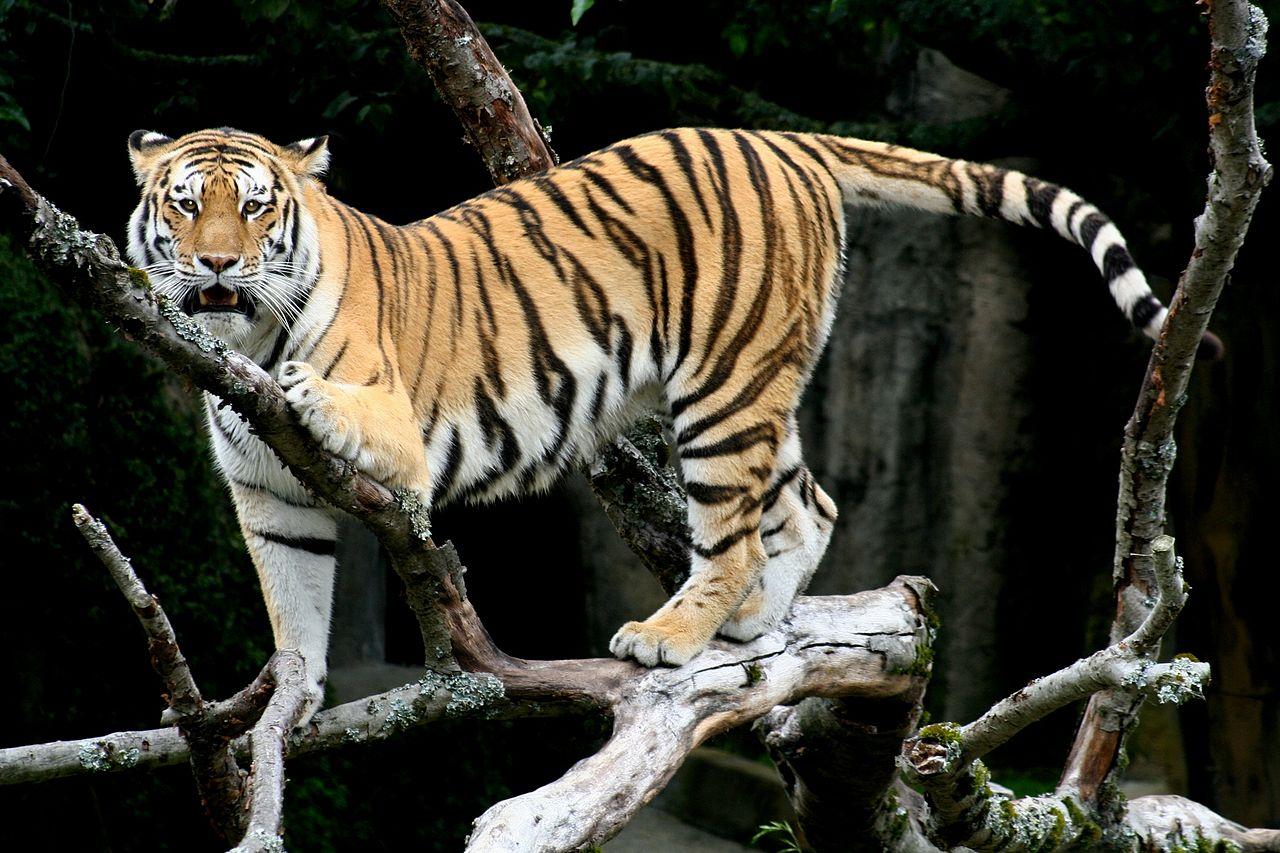 The Tiger Panthera Tigris Pgcps Mess