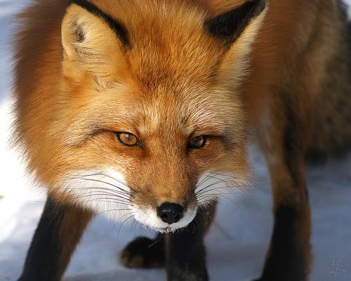 Red Fox Vulpes Vulpes Part Ii Parents Alliance Of