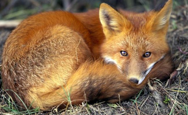 Red Fox Vulpes Vulpes Parents Alliance Of Prince