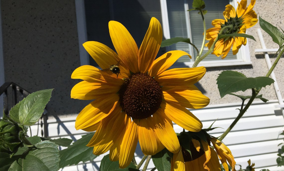 A bee takes off from a sunflower at a residence on Moffat Street. Bill Phillips photo