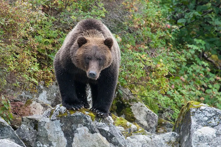 Grizzly bear. Guide Outfitters Association of BC photo