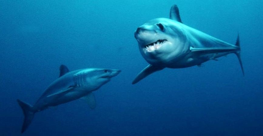 Coppia di squalo mako